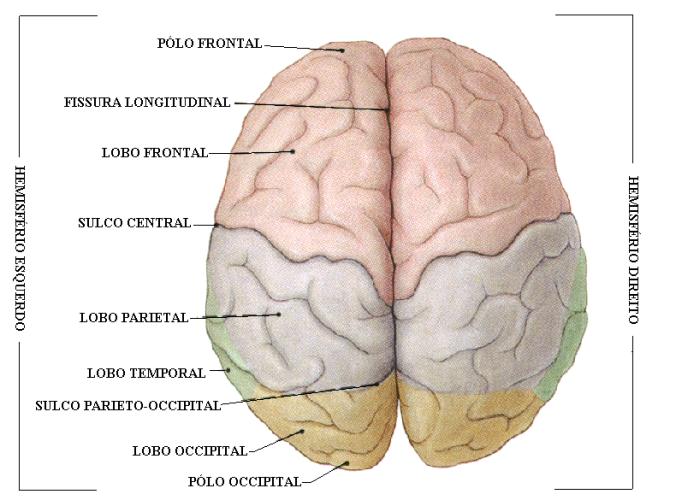 cerebro e hemisférios